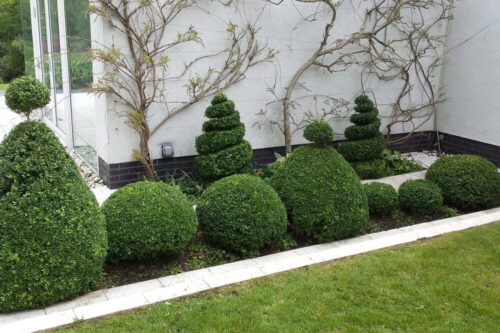 Box hedge topiary in Caldy, Wirral