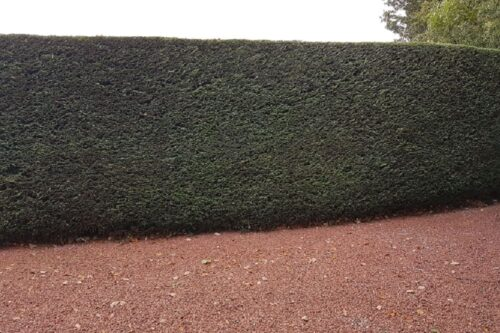 Conifer hedge trimming in Ledsham, Cheshire